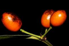 Elaeodendron australe var. australe (andreas lambrianides) Tags: celastraceae cassineaustralis elaeodendronaustralevaraustrale blushboxwood redfruitedolive redolive redoliveberry redfruitedoliveplum redoliveplum australianflora australiannativeplants australianrainforests australianrainforestplants australianrainforestfruitsandseeds australianrainforestfruits australianrainforestseeds arffs arfp qrfp nswrfp elaeodendron littoralrainforest subtropicalarf littoralarf dryarf orangearffs