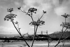 (sundaychild) Tags: plant caffenol fujineopanss