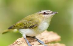Red-eyed Vireo (Laura Erickson) Tags: minnesota birds places species stlouiscounty passeriformes redeyedvireo peabodystreet vireonidae