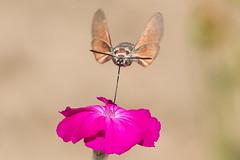 Hummingbird Hawk Moth June 2015 (Study 5) (jgsnow) Tags: insect ngc moth npc hummingbirdhawk