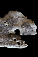 IMG_4981 (j.towbin ) Tags: macro texture nature faces holes bark minimalsim allrightsreserved