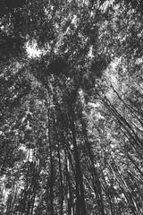 IMG_7769.JPG (esintu) Tags: bw tree lines forest blackwhite trix uwa ultrawideangle 600d vsco