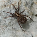 wolfspider and offspring