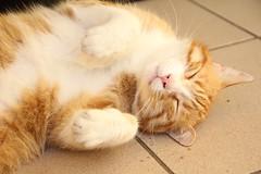 it's oh so cute shut shut.. (Ludmila Leonie) Tags: cat canon chat sweet sleepy leonie ludmilaleonie