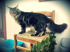 Maine coon brown tabby cat in the chair (romeosilverpersian) Tags: maineshag mainecoon catbreeds cat cats browntabby tabby pet pets animalidomestici gatti gatto animals chair
