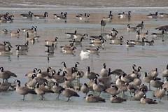 Snow Goose (Wild Bird Company) Tags: snowgoosegeese chencaerulescens snowgoosegeesecolorado snowgoosegeeseboulder wildbirdboulder wildbirdcolorado wildbirdcompany formerwildbirdcenter birdseed birdwalk doddreservoir bouldercountyparksandopenspace niwot stevefrye