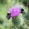 Summer Buzz. (Omygodtom) Tags: senery setting scenic scene abstract explorer existinglight elitebugs macromonday macro bug bumblebee insect tamron90mm tamron nikkor outdoors nikon d7100