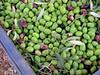 MENARA ORGANIC OLIVES (Honevo) Tags: green honevo hönevo olives menara olive marrakech