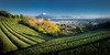 Go green (Charl||e.) Tags: japan shizuoka green tea field blue fuji fujisan mountain landscape 2016 nikon d610 japanese
