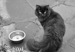 Black prince (Caulker) Tags: cat patio bowl rainwater 03022017