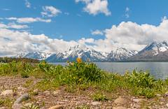 Spring time. (Redfishvic) Tags: oldfaithful yellowstone2016 bison tetons marmots