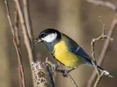 P1020020 (turbok) Tags: kohlmeise meise tiere vögel wildtiere c kurt krimberger