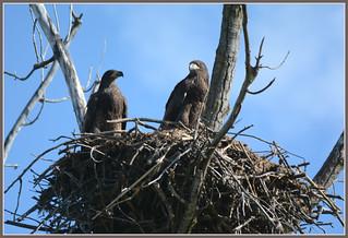 ^^^ Eagle Fledglings Moment - I. ^^^