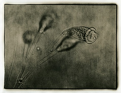 ° (polyphren) Tags: lith lithprint microscope 500x se5lith orwopaper digitalnegative glockentierchen vorticellidae