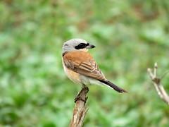 Rooiruglaksman / Redbacked Shrike (Bruwer Burger.) Tags: rooiruglaksman redbacked shrike coth5 ngc npc