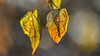 just two (and a half) leafs (keriarpi) Tags: leaf leafs autumn dof