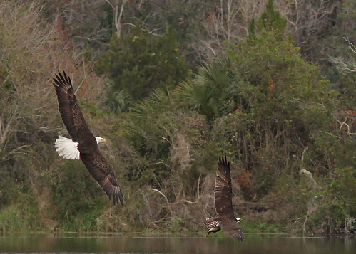 Bald Eagle (Haliaeetus leucocephalus) chasing Osprey (Pandion haliaetus)