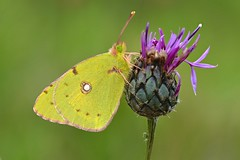 Clouded Yellow (Colias croceus) (Andrew Cooper - On and Off!) Tags: cloudedyellow dorset uk yellow green insect purple pink white wildlife nature macro photography detail saffron