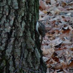 Brown Creeper (Dendroica cerulea) Tags: browncreeper certhiaamericana certhia certhiidae certhioidea passeri passeriformes psittacopasserae eufalconimorphae aves birds creeper winter valleyplaceravine ayresbeach highlandpark middlesexcounty nj newjersey