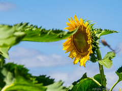 P1225266-2 (Life is so Short) Tags: sunflowers mountans lakes
