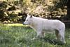 White wolf (Cloudtail the Snow Leopard) Tags: polarwolf wildpark parc animalier sainte croix tier animal mammal säugetier wolf weiswolf canis lupus arctos polar arctic