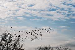 DSC_7166A1W (Montse Ponsa) Tags: aiguamolls aus aigua vegetacio ocell birds gi girona catalunya emporda