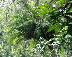 20060803_13 (Badly Drawn Dad) Tags: malaysia mys sabah geo:lat=604705858 geo:lon=11670237780 geotagged poringhotsprings junglewalk epiphytic ferns