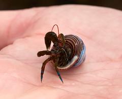 Hermit crab (wolf4max) Tags: ocean usa nature animal hermitcrab shell crab atlantic westcoast usawestcoast