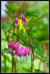 Hearts (mmoborg) Tags: flowers summer sweden sverige blommor sommar mmoborg