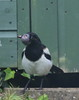 Magpie with two heads (Rally Pix) Tags: with head magpie disfigured