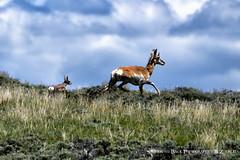 I WILL FOLLOW YOU (Aspenbreeze) Tags: nature animal clouds rural outdoors wildlife antelope wildanimal prairie pronghorn clorado coloradowildlife aspenbreeze moonandbackphotography bevzuerlein