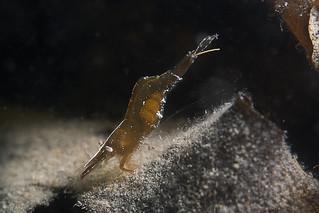 Steurgarnaal met eieren (Hippolyte varians)