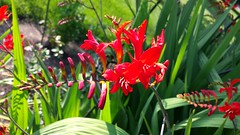 "Crocosmia ""Lucifer"" (horsepj) Tags: flowers red plants blossoms indiana elkhart raceme"