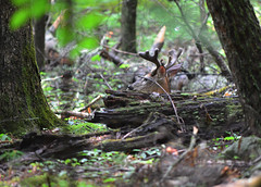 Deer In Hiding (Brad-(OLS)) Tags: park mountains woods cove great velvet deer antlers national resting smoky hiding whitetail cades