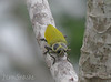 Giant Ceiba Borer (Jenn Sinasac) Tags: beetle panama buprestidae canopytower soberanianationalpark metallicwoodboringbeetle euchromagigantea giantceibaborer