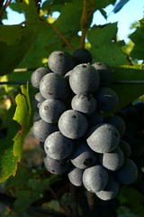 "Organic Gamay - Ready for Picking • <a style=""font-size:0.8em;"" href=""http://www.flickr.com/photos/133405556@N08/20078987925/"" target=""_blank"">View on Flickr</a>"