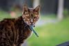 Cassius Clay - Sony A7M2 / Carl Zeiss Jena 3.5/135mm (motozealander) Tags: green grass cat carlzeiss zeiss135