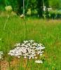 Sumacarcer 2015 (sento vicente) Tags: naturaleza flores nature flor nubes insecto nubols