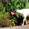 Bali, Crete - Gastronome Goat (pom.angers) Tags: canoneos400ddigital july 2010 bali crete greece europeanunion goat