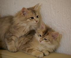 Siberian sister (il goldcat) Tags: goldcat gatti cats siberiani siberian micini gattini