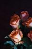 DSC_4243 Roses (PeaTJay) Tags: nikond750 reading lowerearley berkshire macro micro closeups gardens indoors nature flora fauna plants flowers bouquetofroses rose roses rosebuds
