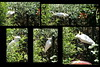 Cockie checks out the climb to the birdbath (spelio) Tags: cockatoo back garden yard edit composite cutandpaste thumbs
