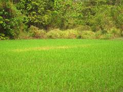 ANGKOR PADDY FIELD (patrick555666751) Tags: paddy field riziere asie du sud est south east asia cambodge cambodia flickr heart group kampuchea angkor cambodja camboja cambogia kambodscha camboya