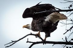 Bald Eagle by Jackson Lake in Grand Teton NP (aparlette) Tags: nationalpark grandtetonnationalpark baldeagle nature tree bird animal eagle grandteton moran wyoming unitedstates us