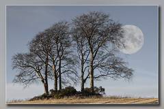 Copse with Winter Moon....Pale moon Rising.