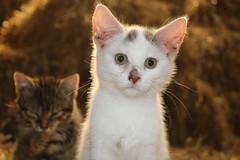 have I done something wrong ? (excellentzebu1050) Tags: 2016xzebucowscatsept cat kittens kitten pet animalportraits closeup farm indoors animal animals