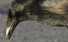 The Crow v The Whelk (Robin M Morrison) Tags: crow whelk portland portlandcastle dorset corvid