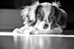 Beti (halukderinöz) Tags: bw siyah beyaz köpek dog king charles hayvan animal pet ankara türkiye