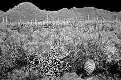 Cactus Landscape (Neal3K) Tags: desert saguaronationalpark tucson arizona cactus