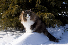NORWEGIAN FOREST CAT (lmstonenhp1) Tags: cat catoutdoors catportrait catseyes feline felinebehavior norwegianforestcat purebredcat